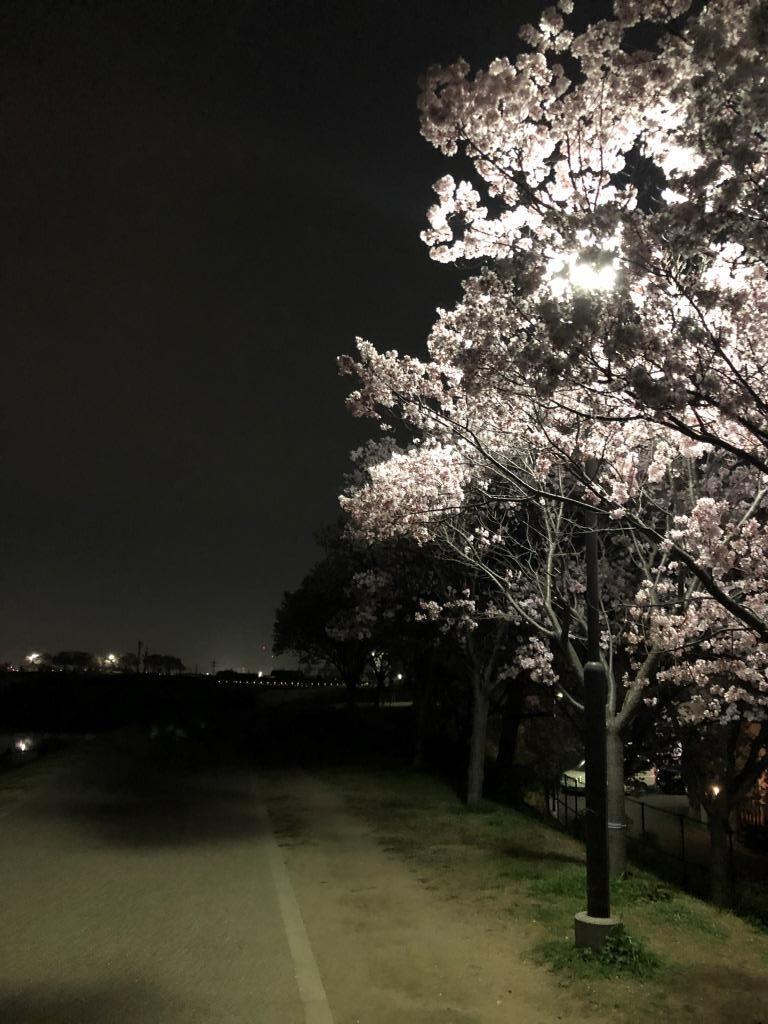 狭山池公園、2021年3月27日(土)の夜桜