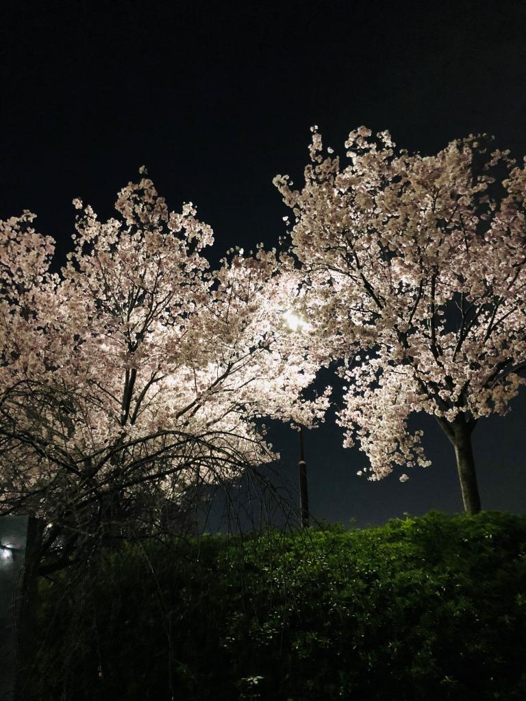 狭山池の夜桜(2021年03月27日撮影)