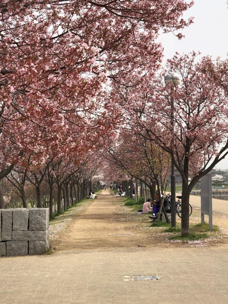 2021年03月30日(火)の狭山池博物館近辺の桜並木、やや散りかけです。