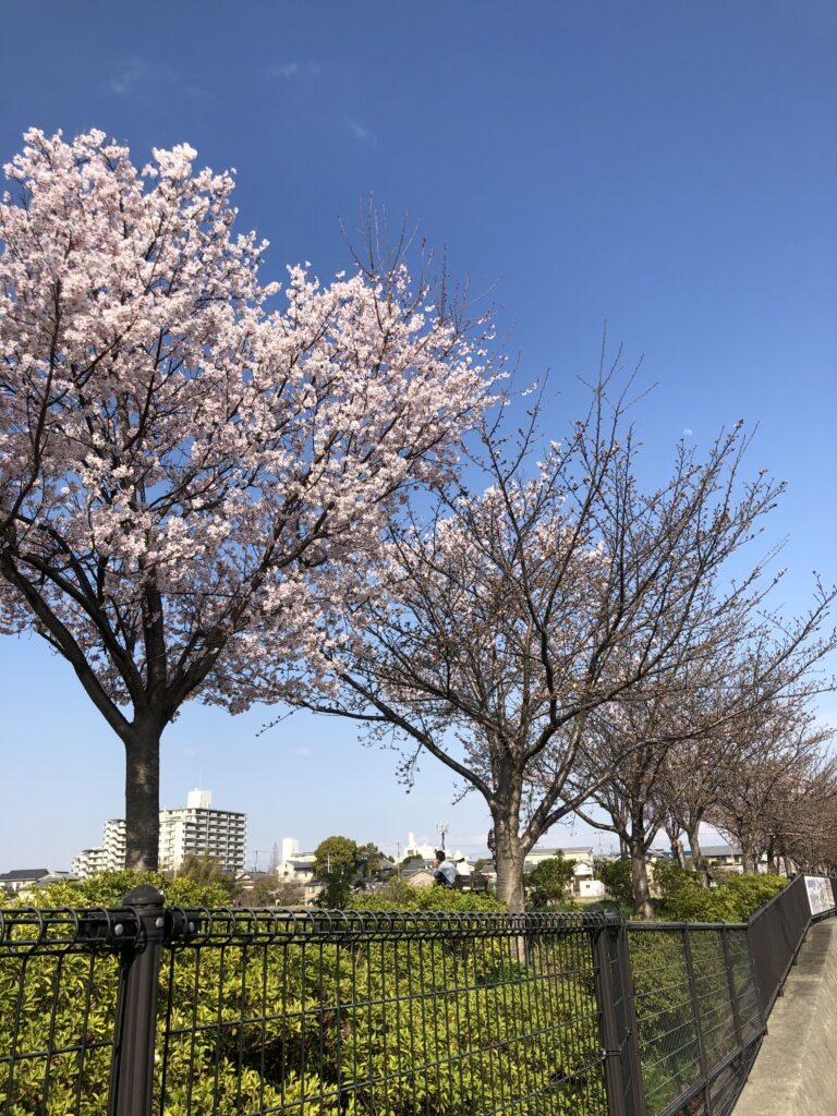 2021年03月24日時点の狭山池公園の桜