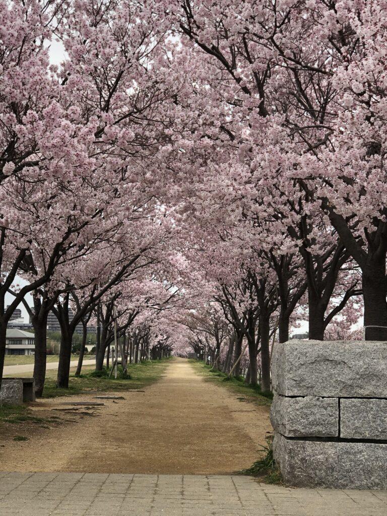 2021年03月25日の狭山池の桜の開花状況