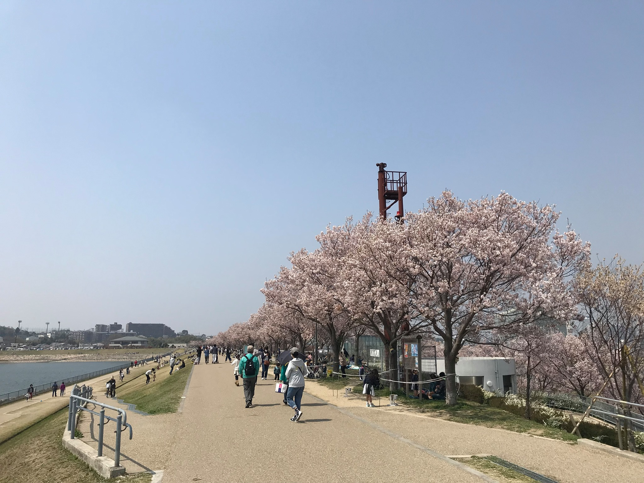 狭山池の桜並木